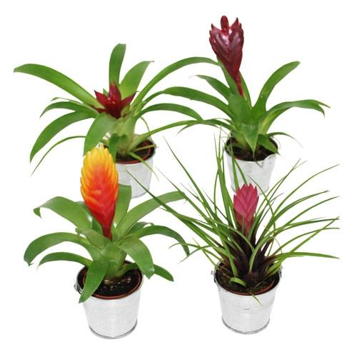 Mini plante exotique pour mariage th me tropical for Plantes exotiques d interieur