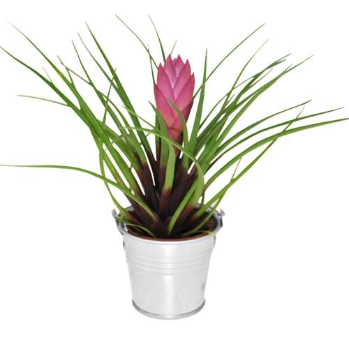 Mini plante exotique fleurie un cadeau d 39 invit pour tous - Plante interieur ikea ...